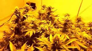 indoor grow room setup with cannabis plants marijuana grow vlog