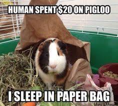 Shaved Guinea Pig Meme - classic guinea pig logic guinea pig memes humor pinterest