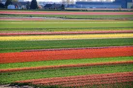 2018 cycling at keukenhof and flower bulb fields in holland