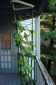 Hops On Trellis Growing Hops In Limited Space U2013 Nc Home Brewing