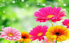 gerbera daisies gerbera flowers hd desktop background