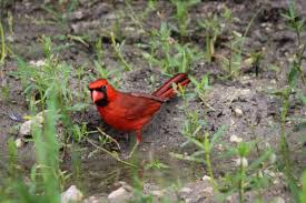 my red cardinal and bird obsession at bear creek park in