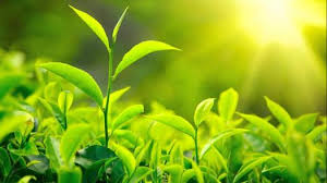 green plants process of photosynthesis in green plants quiz 1 proprofs quiz