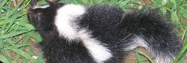 How Do You Get Rid Of Skunks In Your Backyard How To Get Rid Of Skunks Steps And Tips