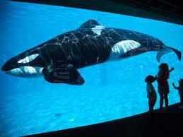 california bans seaworld u0027s killer whale shows and breeding program
