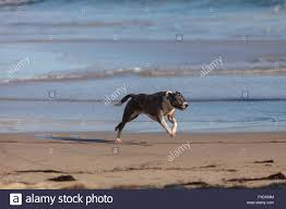 plays on cape cod american staffordshire terrier dog runs and plays along a beach in