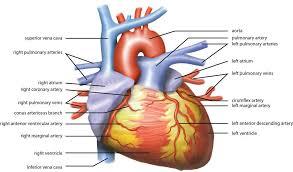 External Heart Anatomy File Wiki Heart Antomy Ties Van Brussel Jpg Wikimedia Commons