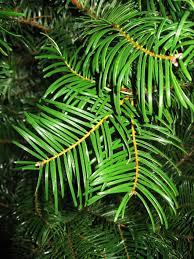 christmas trees huntersgardencentre com