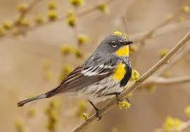 yellow rumped warbler audubon field guide