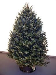 balsam christmas tree christmas trees alberta wholesale mountain view christmas trees