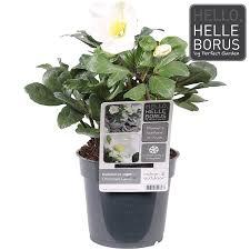 helleborus niger carol my garden