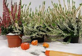 winterharte pflanzen balkon winterharte kübelpflanzen obi ratgeber