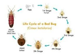 sofa bugs that bite everything about bed bugs fischer s pest control