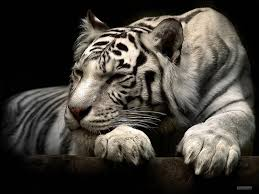 best wallpapers white tiger sleeping dessert ideas