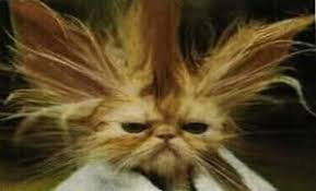 Bad Hair Day Meme - bad hair day cat blank template imgflip