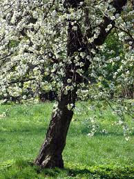 free photo blooms apple flower flowers twigs tree apple sad max