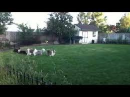 australian shepherd vs sheltie shelties and mini aussies herding each other youtube
