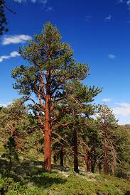 ponderosa pine trees for sale lowest prices save 80 buy