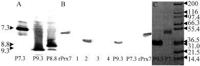 barley coleoptile peroxidases purification molecular cloning
