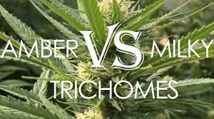 marijuana trichomes amber vs milky trichomes the why and when to harvest youtube