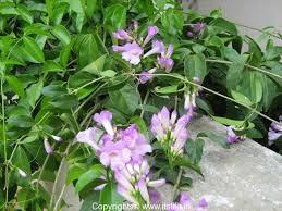garlic creeper gardening flowering creeper medicinal plant