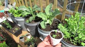 growing kale u0026 collards in containers patio garden mfg 2014