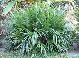 needle palm trees needle palm tree for sale fast growing trees