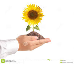 hand holding sun flower stock photo image of botany 44516054