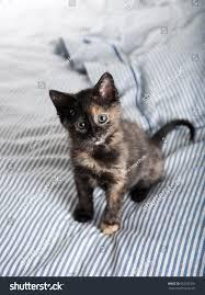 Kitten Bed Small Tortoiseshell Kitten Playing On Striped Stock Photo