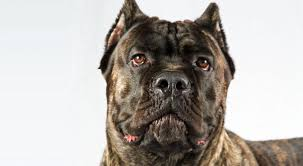boxer dog noises 10 dog breeds mistaken for pit bulls simply for dogs