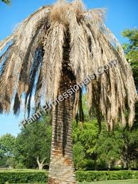 how much does a palm tree cost houston buy wholesale