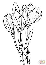 showy autumn crocus coloring page free printable coloring pages
