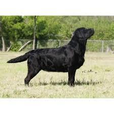 afghan hound and labrador retriever paloma labrador retrievers labrador retriever breeder in robinson