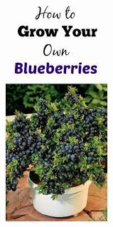 grow your own blueberries and recipes gardening pinterest