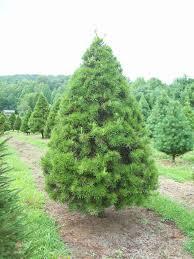 trees bluebird christmas tree farm