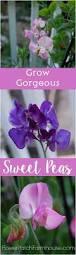 best 25 sweet peas ideas on pinterest sweet pea flowers sweet