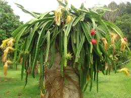 dragon fruit u2013 the extreme horticulturist