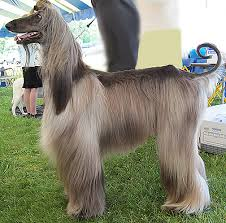afghan hound utah view topic the runway is yours new and accepting