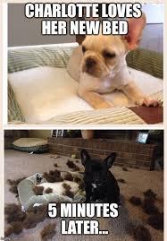 French Bulldog Meme - french bulldog imgflip
