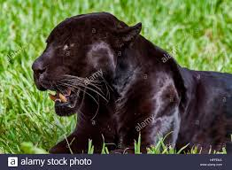 black jaguar panthera onca also called panther is a melanic