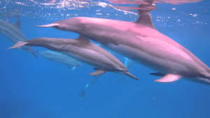Hawaii Wild Swimming images Swimming with the wild dolphins of hawaii now with music jpg