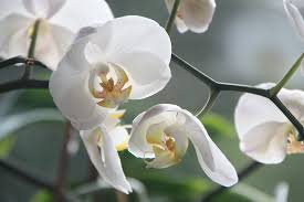 Flower Orchid Free Photo Flowers White Violet Orchids Blossom Bloom Max Pixel