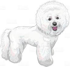 bichon frise breed standard vector white cute dog bichon frise breed stock vector art
