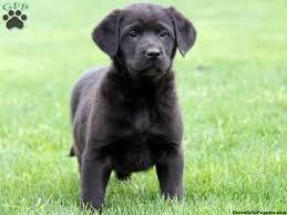 accounting resume exles australian kelpie lab doberman golden retriever mix dogs pinterest golden
