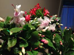 christmas plant how to encourage your christmas cactus to bloom for the holidays