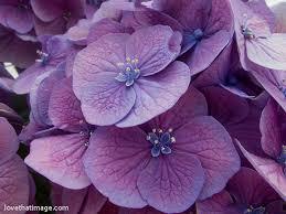 Purple Hydrangea Purple And Pink Hydrangea Sara U0027s Fave Photo Blog