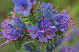 native plant guide echium vulgare u201cvipers bugloss u201d plant care guide echium
