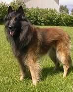 belgian sheepdog varieties dog breeds in the herding group