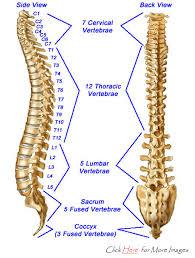 Human Vertebral Column Anatomy Diagram Thoracic Spine Humandiagram Info