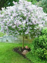 33 best flowering trees zone 7 images on gardening